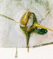 Nieżarliwa kaczka
